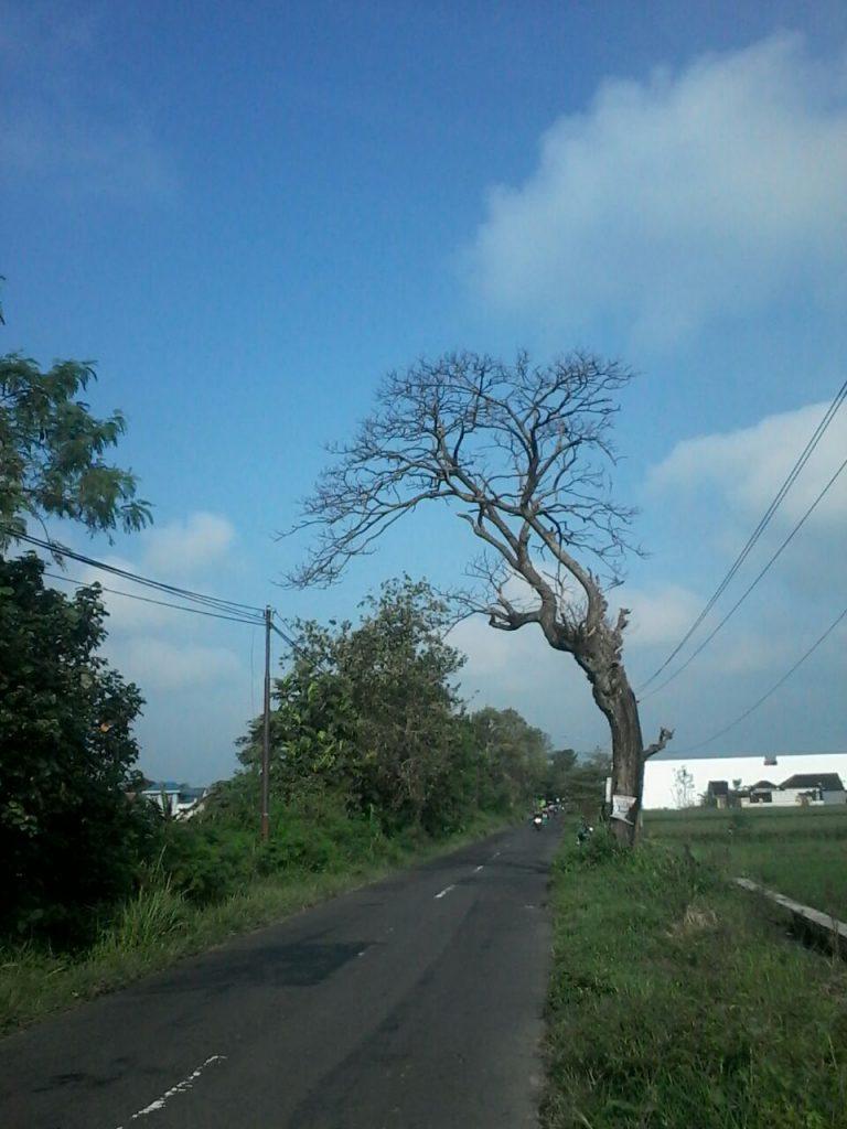 Supardi, Klaten : Pohon mati dan keropos di jalan Delanggu Polanharjo, desa Mendak, Klaten.